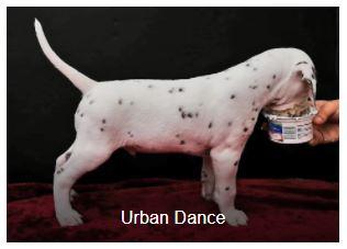 Herr Bordaux Somora´s Urban Dance (N/hu)...6 Wochen alt