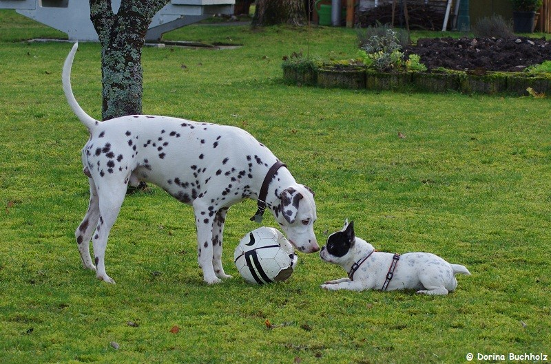 Somora`s Juniper Dream und French Bully Connection`s Eivy das ist MEIN Ball 3 Januar 2016