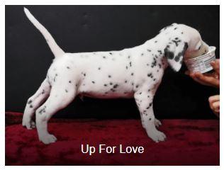 Herr Blau Somora´s Up For Love (N/hu)...6 Wochen alt