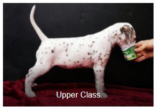 Frau Rosa Somora´s Upper Class (N/hu)...6 Wochen alt