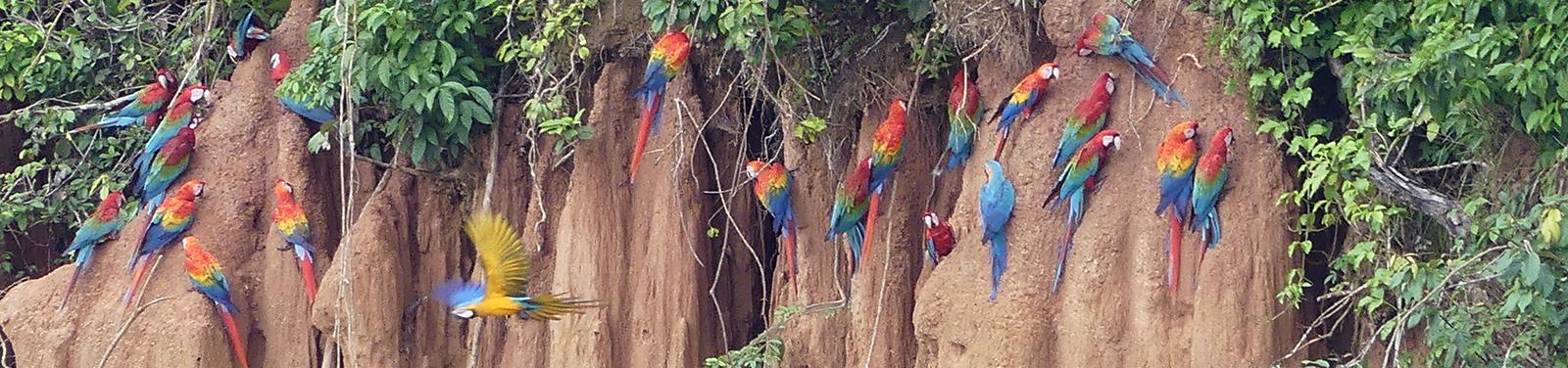 Papageien-Salzlecke, Tambopata, Peru