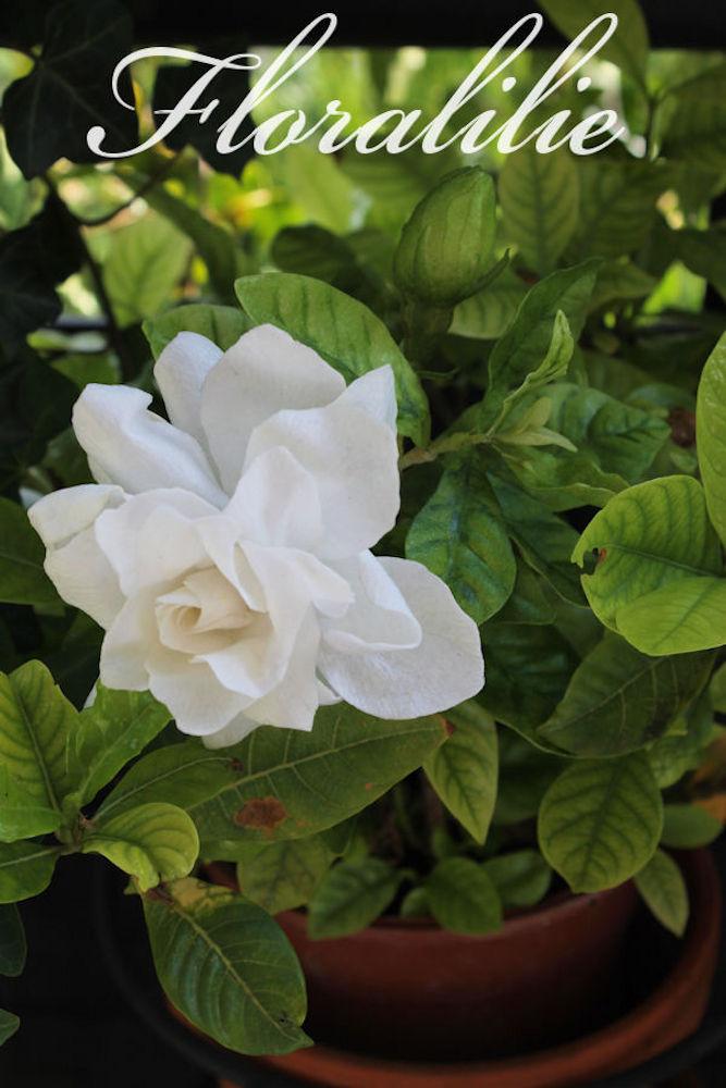 Wafer Paper Gardenia   Floralilie Sugar Art