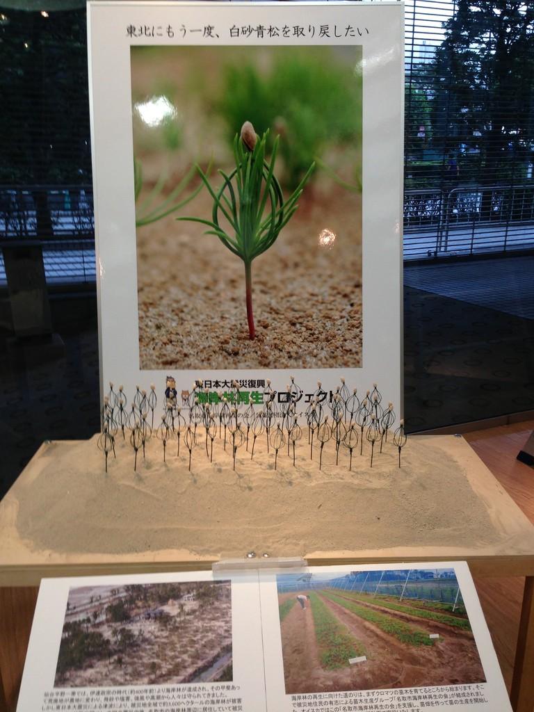 海岸林再生プロジェクトのクロマツの萌芽の模型