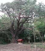 江戸見桜2000年夏