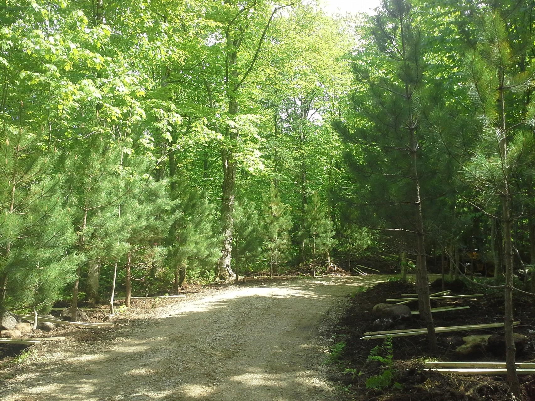 Plantation de pins rouges de 2 à 4 mètres