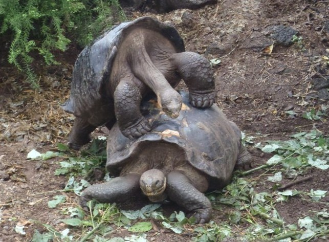 Los machos intentando copular, tarea que no es fácil para ellos.