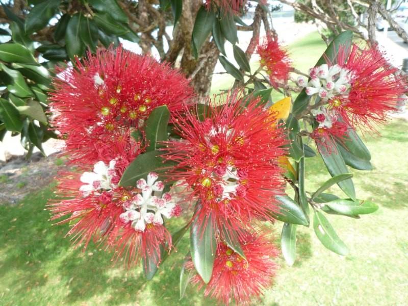 La flor del árbol de Navidad