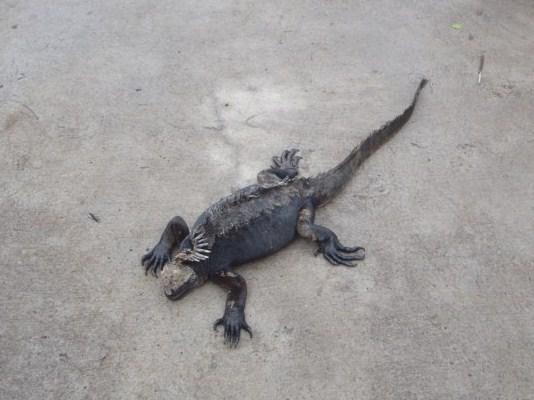 Iguanas en el camino al Centro de investigación Charles Darwin