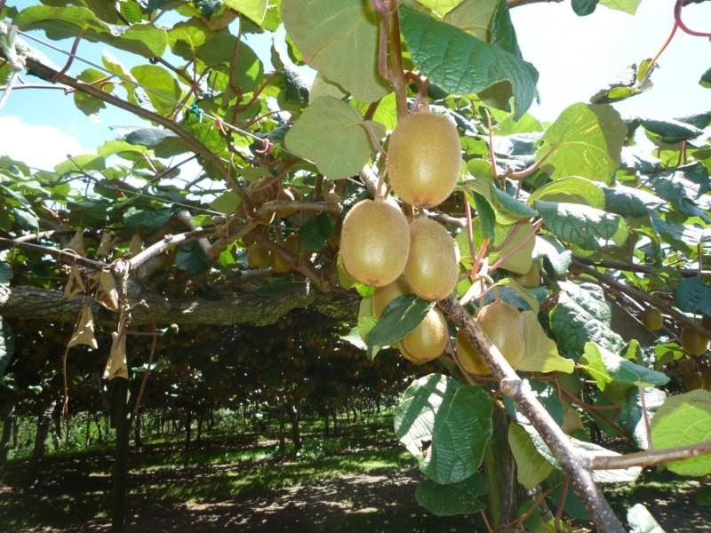 Plantaciones de kiwis. Te Puke
