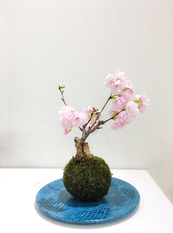 「旭山桜」