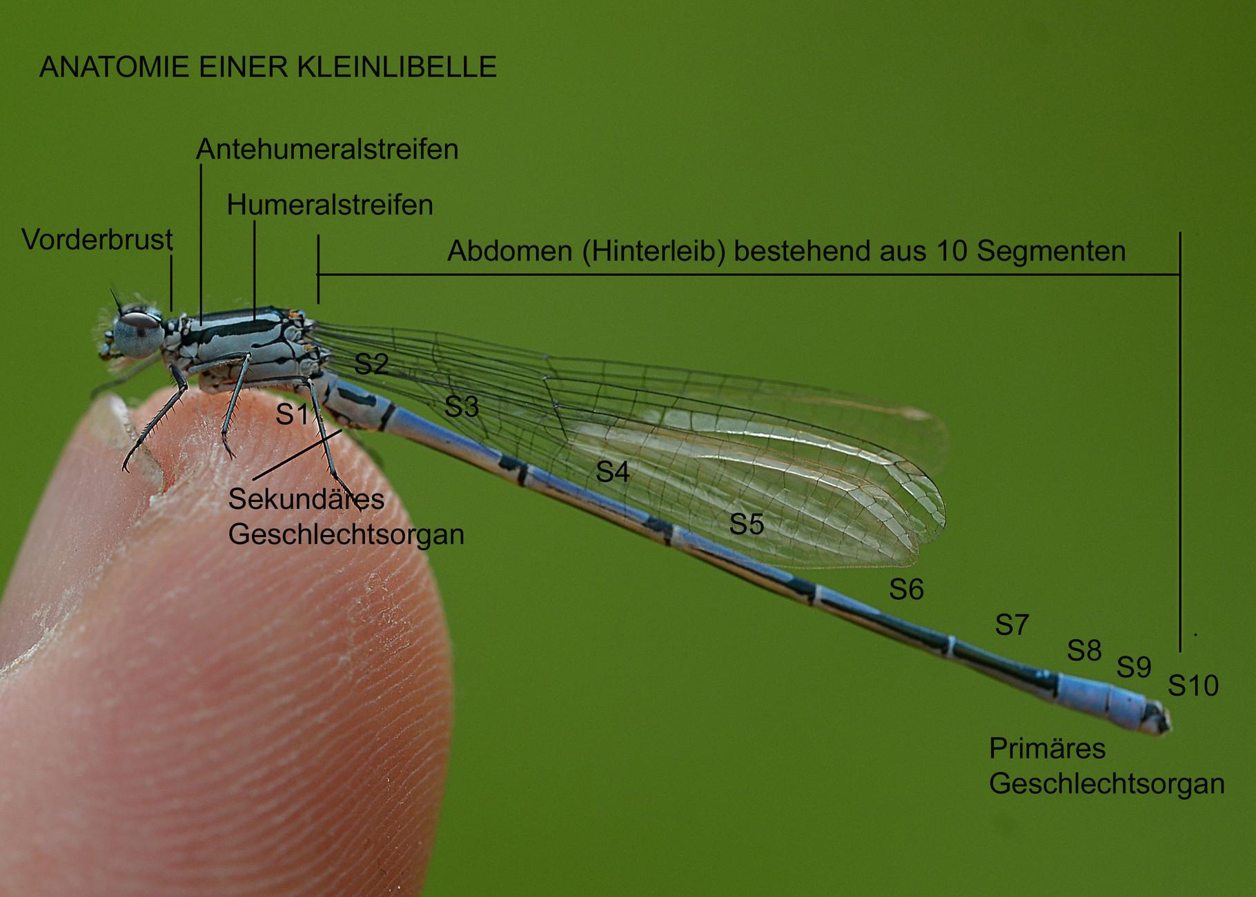 libellen - streifzug~durch~die~natur