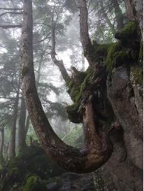 岩を抱くように成長するコメツガ