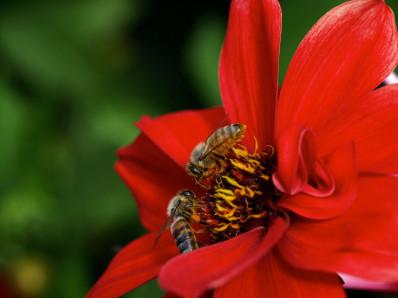 Die Bienen machen Propolis, heidewitzka.