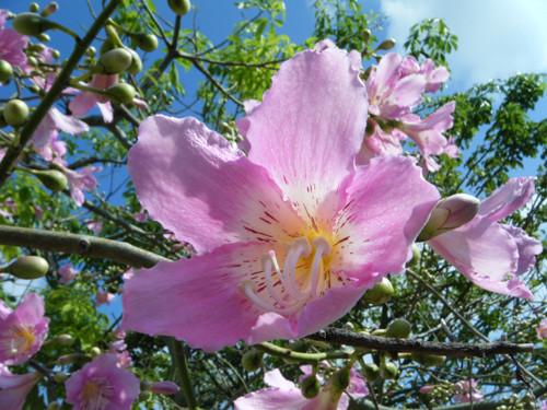 青空の下、大輪の花を咲かせたトックリキワタ=宮良、24日午前8時ごろ。