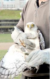 崎枝小学校で放鳥された「崎ちゃん」=2014年2月25日
