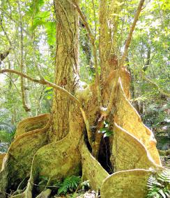 国の天然記念物に指定されたサキシマスオウノキ群落(市教委提供)
