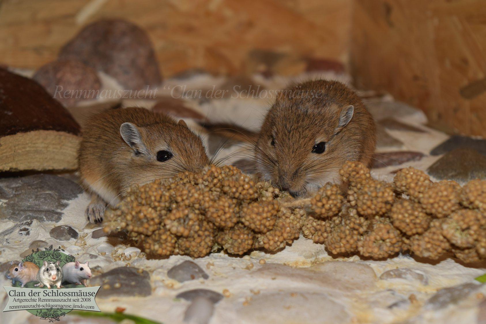 Jungtiere beim Hirsekolben fressen