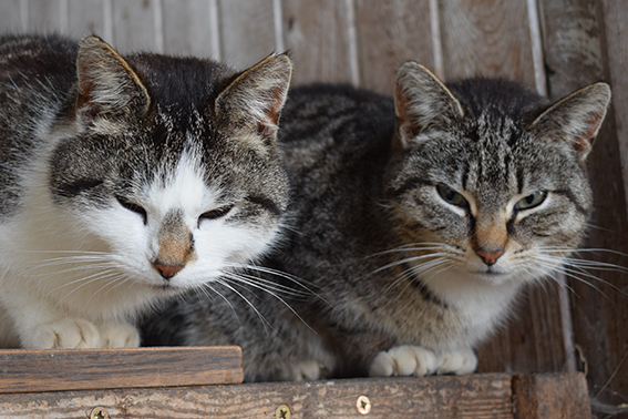 Katzen auf dem Ferienhof Jacobs nahe St. Peter Ording