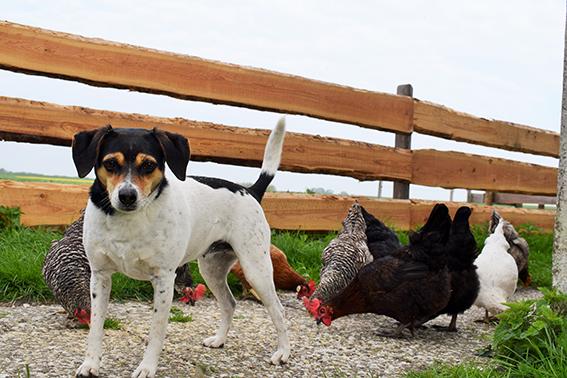 Hofhund Jule mit den Hühnern auf dem Ferienhof Jacobs nahe St. Peter Ording