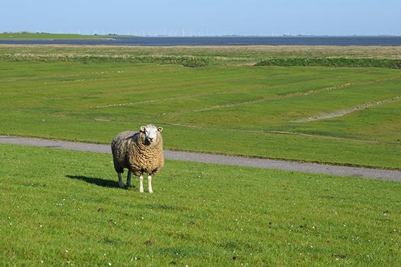 Schaf auf dem Ferienhof Jacobs nahe St. Peter Ording