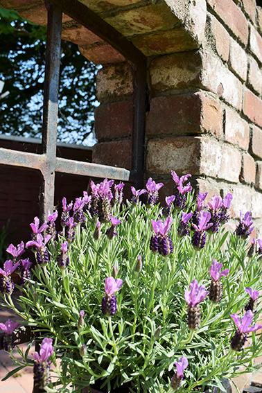 Lavendelblüte auf dem Ferienhof Jacobs nahe St. Peter Ording