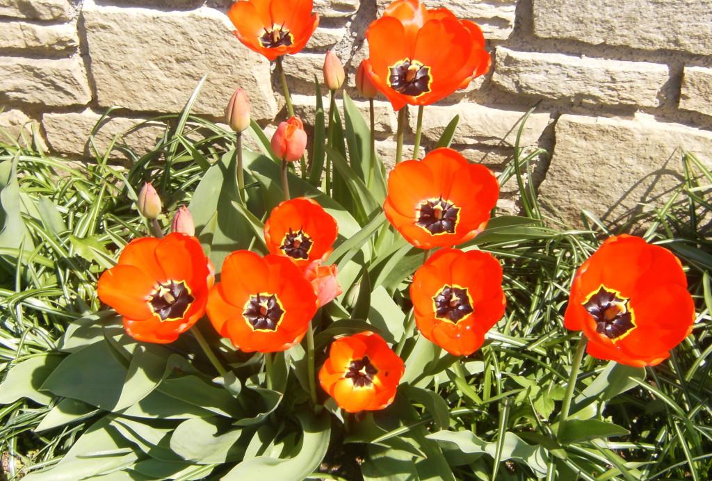 Biohof Haus Wieser, Abtenau, Salzburg Land, Frühlingsblumen