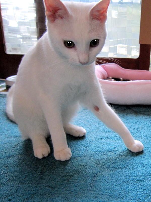 居候ネコが気になってストレスたまるんにゃ!ところで、眼のキャッチライトはうそ臭いんとちゃうんかにゃ?