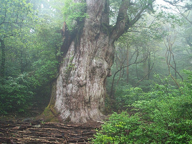 2300 years old tree in Yakushima Source: Wikipedia