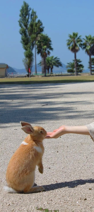 Do you like rabbit? The island is for rabbit lovers Source: Hiroshima prefecture