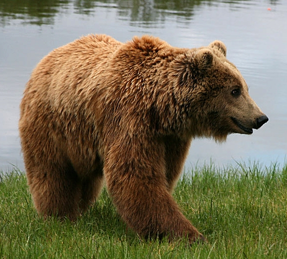 Brown bear or Higuma Source: wikipedia