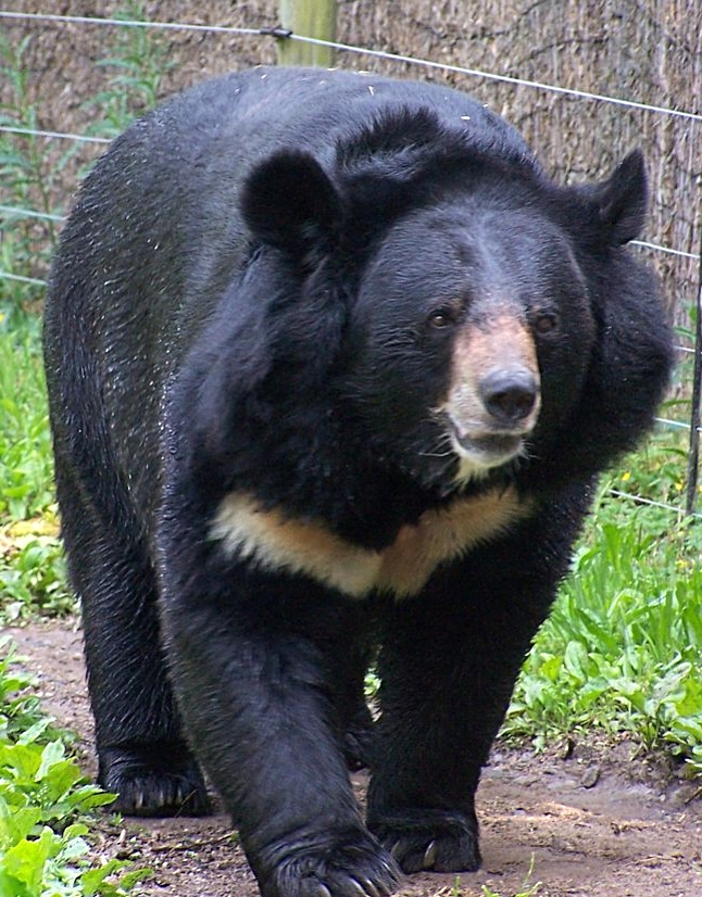 Asian black bear or Tsukinowaguma Source: wikipedia