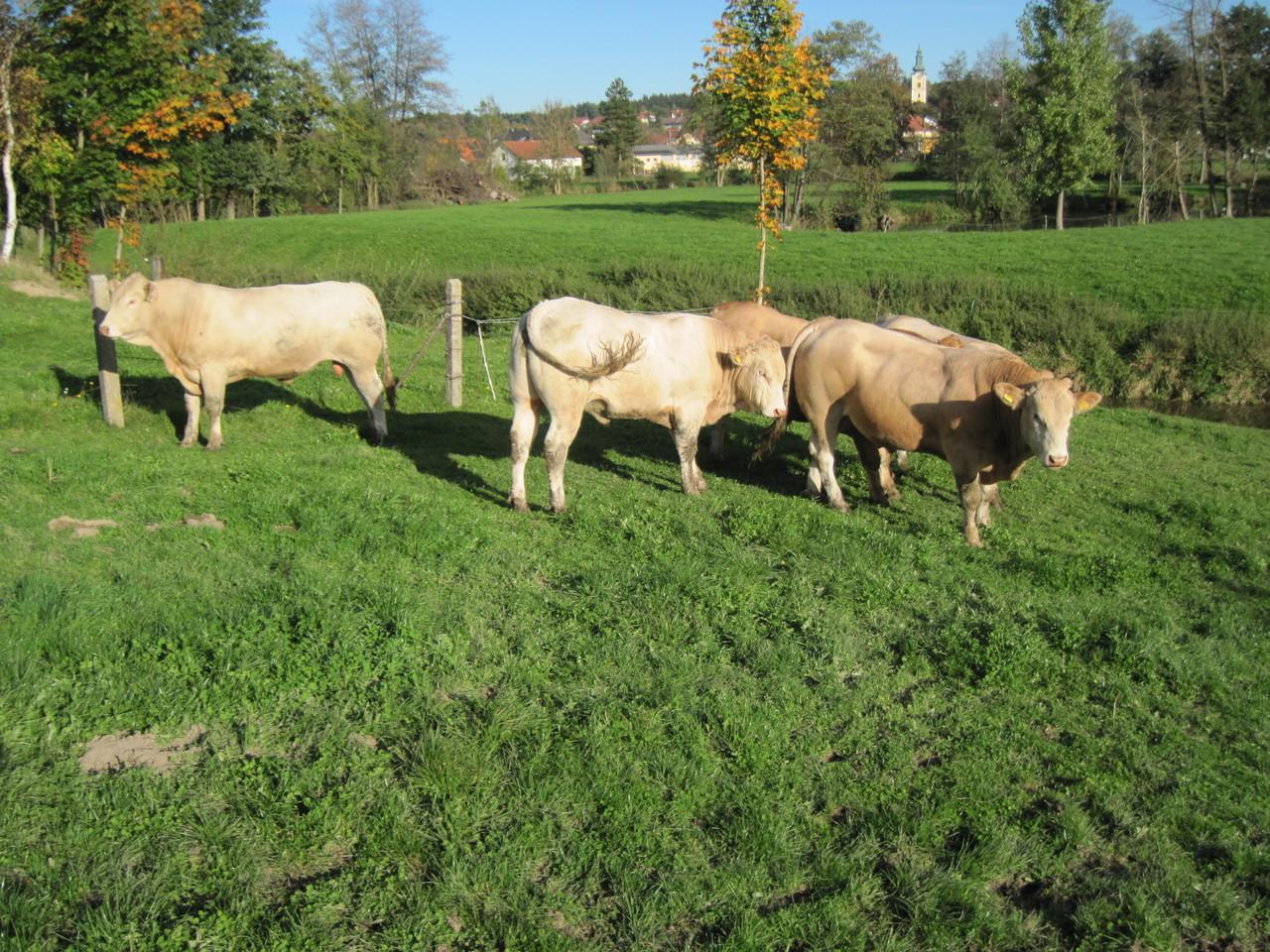 Jungbullen auf der Weide