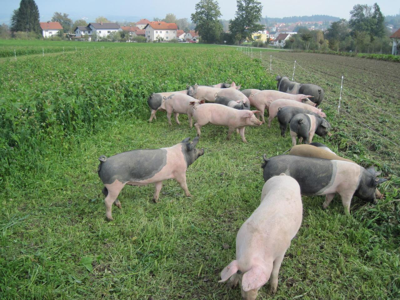 Die neue Schweineweide ist echt lecker