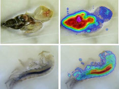 Imaging the distribution of a pesticide in a freshwater snail and a shrimp. Credit: Eawag/Harlan Laboratories