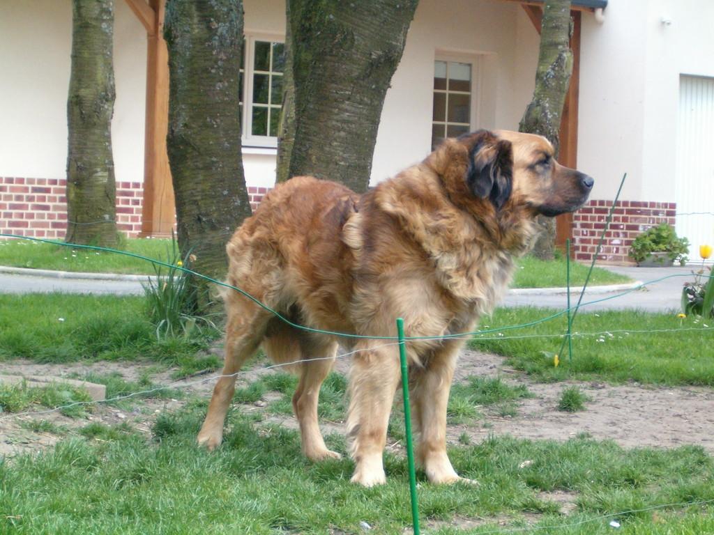 Scott, le chien leonberg