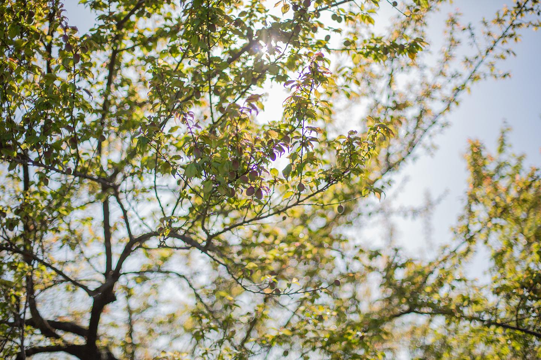 4月 新緑の梅