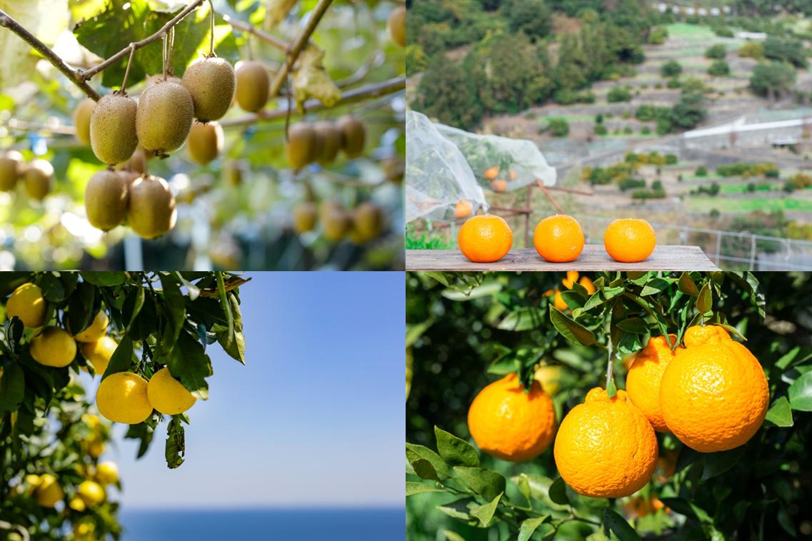 隠れフルーツ王国!小田原:温暖な気候が育てるフルーツの数々