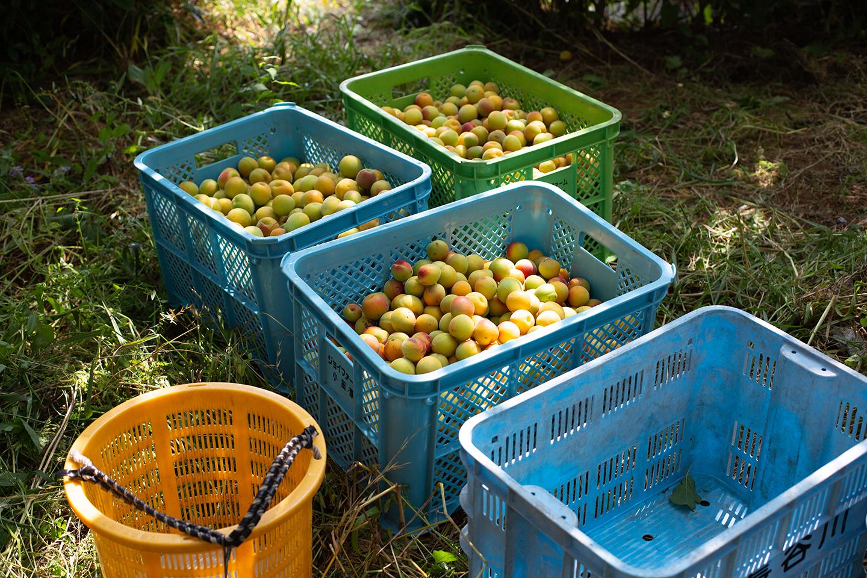 6月 コンテナいっぱいの完熟梅
