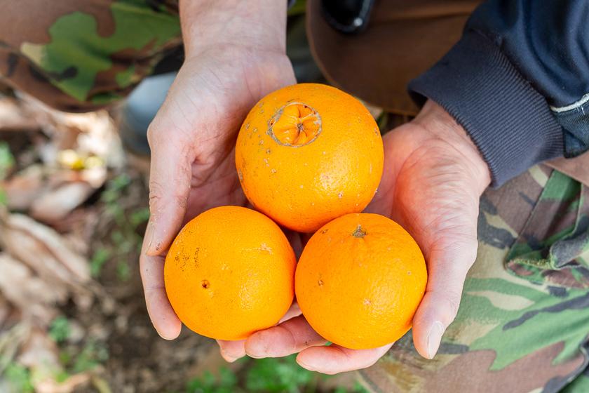 ネーブルオレンジ:2月25日出荷開始