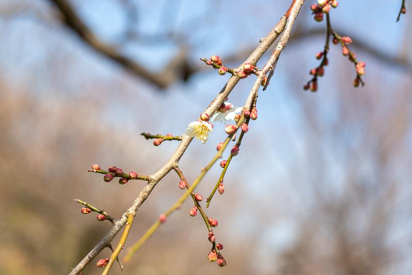 1月 咲き始め
