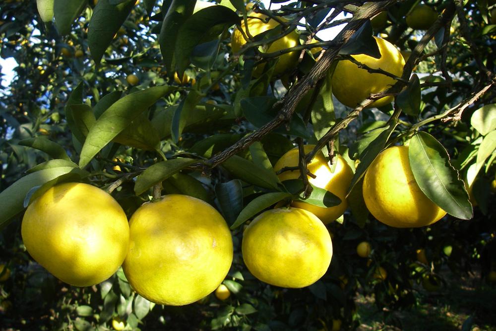 ゴールデンウィークの柑橘その②ニューサマー