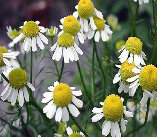 Marticaria Chamomila (Kamille - Camomile - Χαμομήλι)...Magen-Darmbeschwerden, antiseptisch...