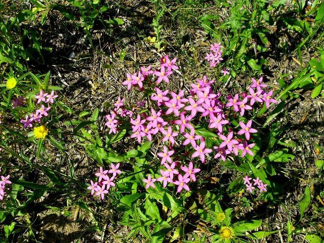 Centaurea erytraea (Tausendgüldenkraut - Centaury - Γεντιανή)...bei Fieber, Gastritis...