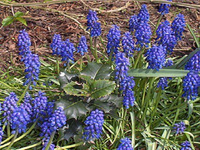 Muscari botrioydes (Traubenhyazinthe - Grape hyacinth - Αγριοσ γάκινθος)...Herz-Kreislauf, Gelenke...