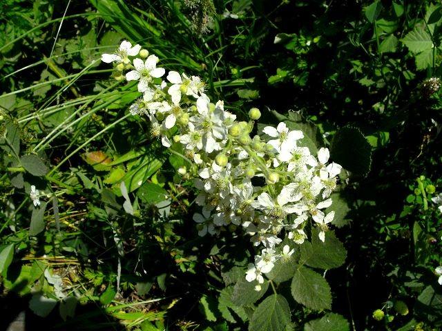 Rubus frutucosus (Wilde Brombeere - Blackberry - Βατόμουρο)...bei Durchfall u. Hautkrankheiten...