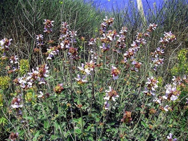 Salvia tribola faskomilo (Salbei -Sage - Φασκόμηλο)...Rachen-Bronchialleiden...