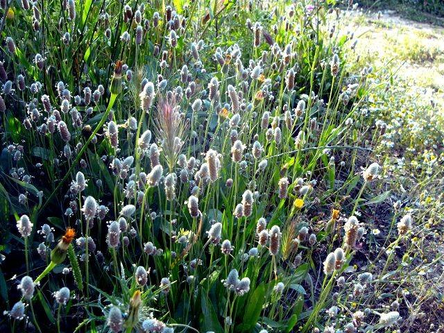 Plantago lanceolata (Spitzwegerich - Ribwort - Πεντάνευρο)...bei Husten, Katharre...