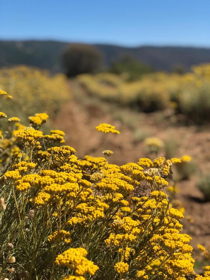 Immortelle Corse - Hélichrysum italicum ssp italicum - By M. Pantalacci