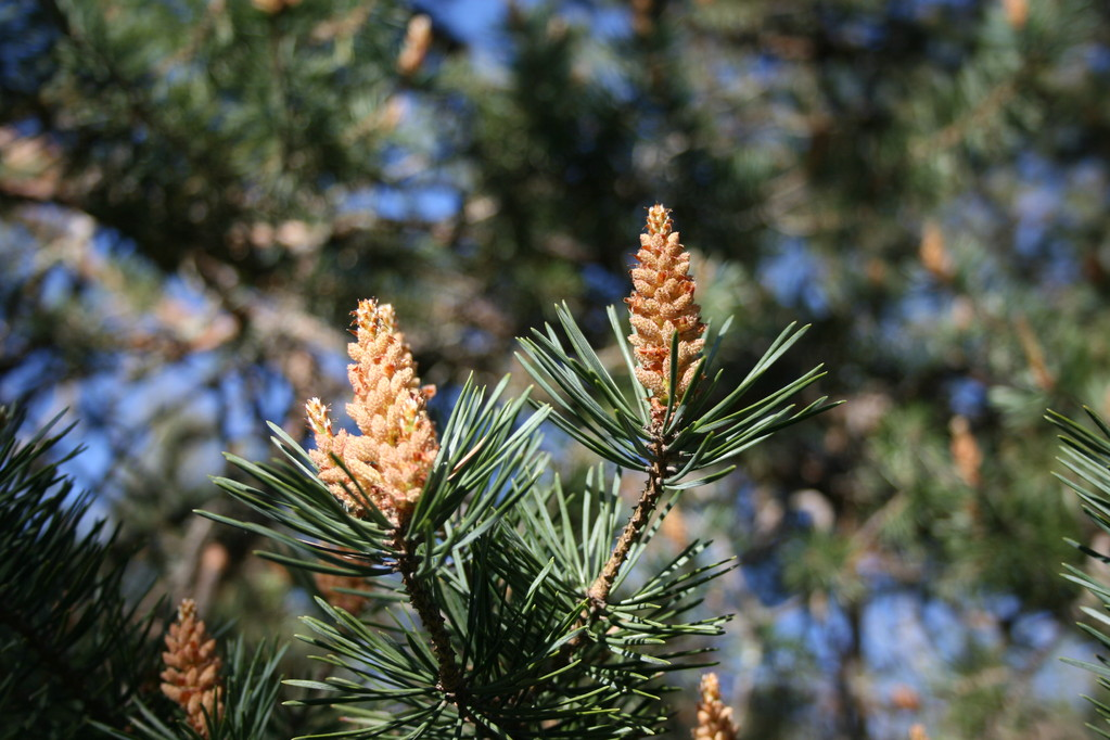 Pin sylvestre Pinus sylvestris - by Alix Brizard - Tous droits réservés