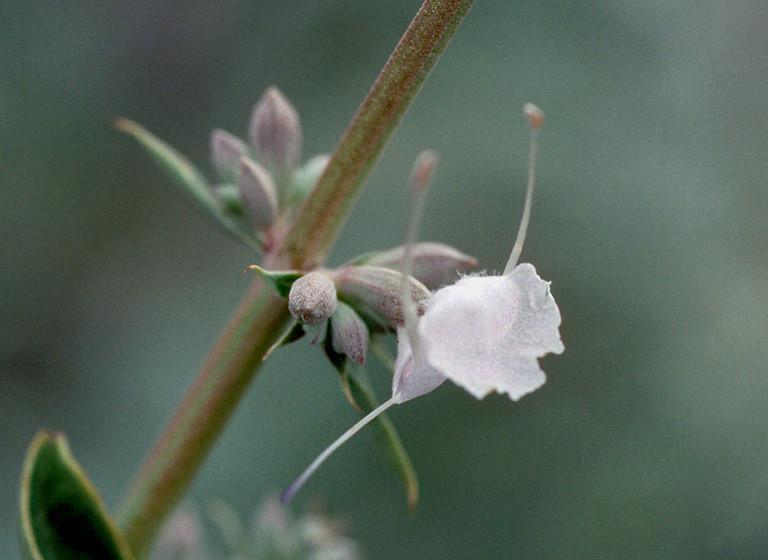Sauge blanche salvia apiana